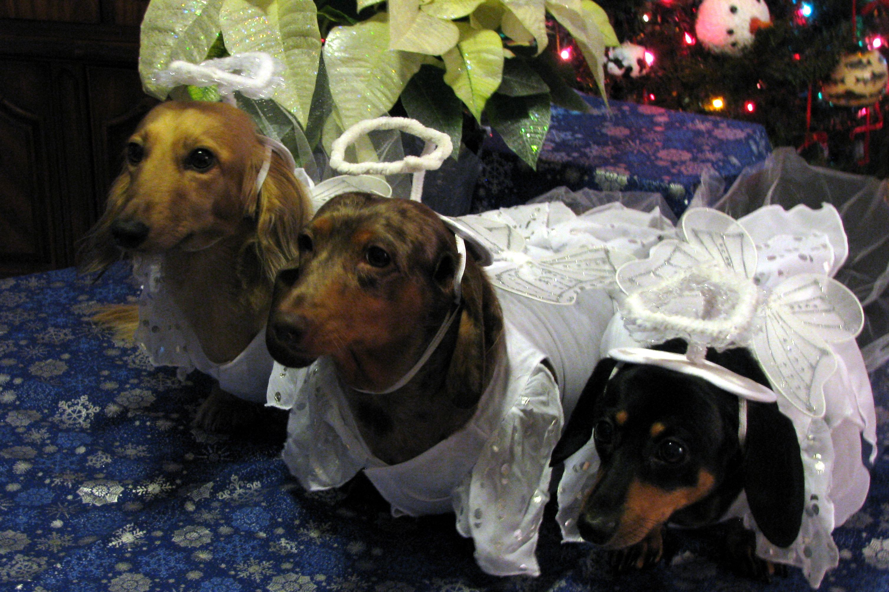 Angels Christmas 2013 Dachshund Lovers Dapple Dachshund Puppy