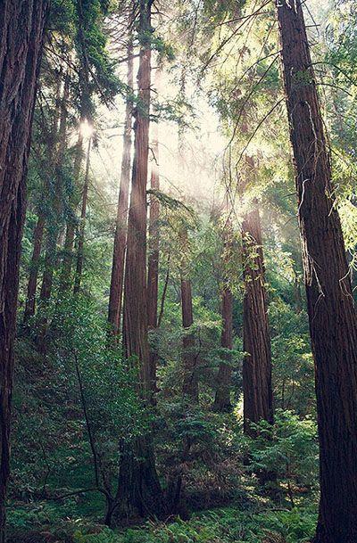 Redwood Tree Photography, Bohemian Print