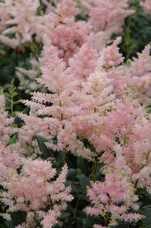Peach Blossom Astilbe Astilbe X Rosea Peach Blossom At Dutch Growers Garden Centre In 2020 Gazon En Tuin Tuin Ideeen Volle Zon Planten