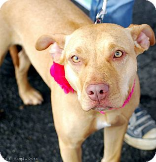 American Staffordshire Terrier/Basenji Mix Dog for adoption