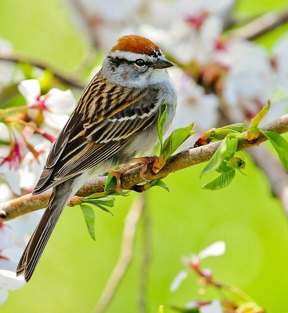 Chipping Sparrow  Common at our feeders all the time! Description from pinterest.com. I searched for this on bing.com/images