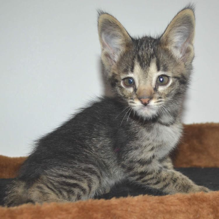 F2 Savannah Kittens Savannah Kitten Kittens Kitten Pictures