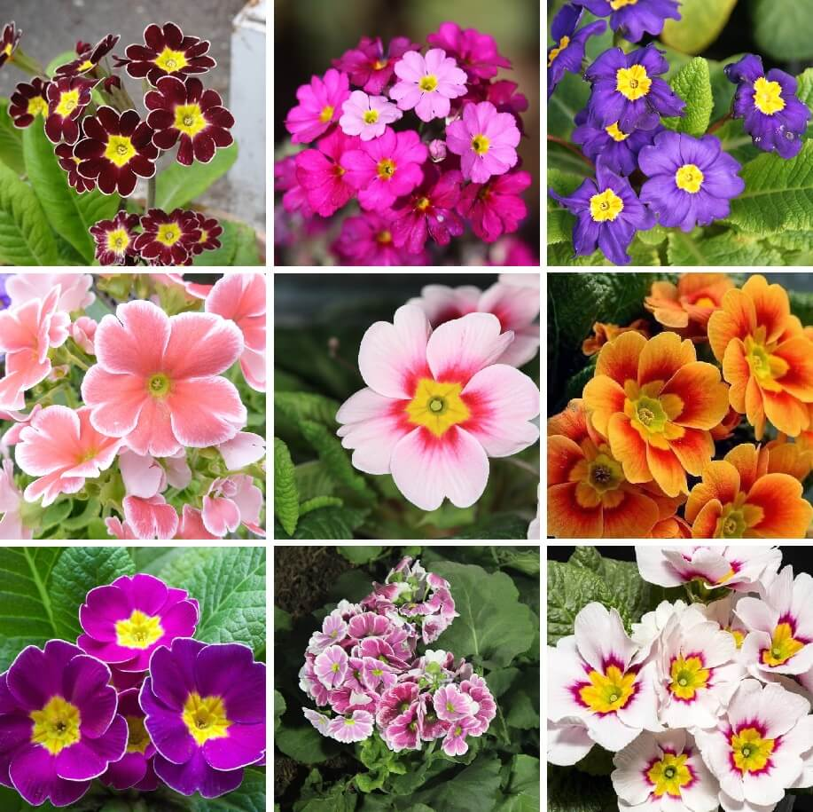 Multi Color Primula Malacoides Seeds Evening Primrose 200pcs Pack In 2020 Plant Gifts Primula Flower Seeds