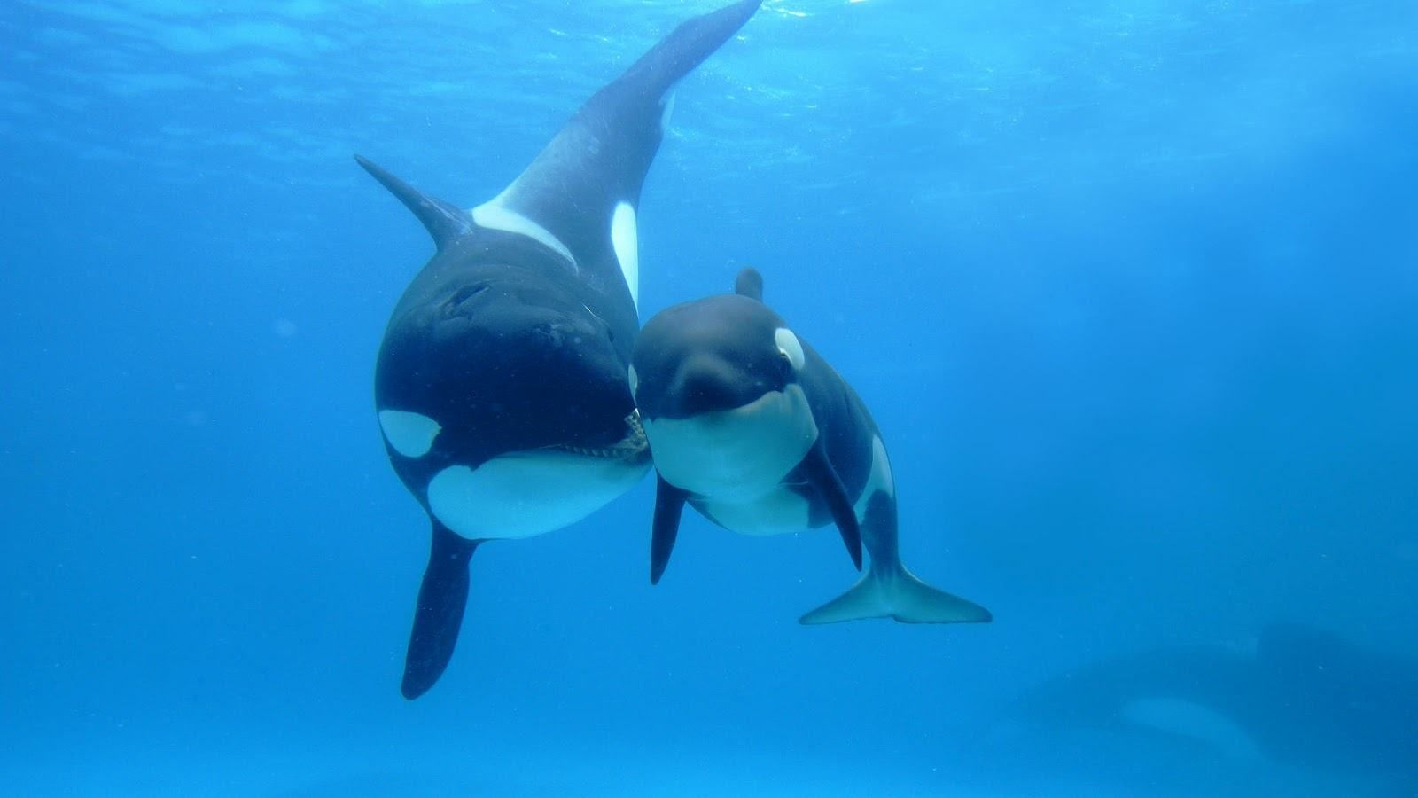 Download mobile wallpaper animals landscape sea killer whales pictures of killer whales wallpapers wallpapers adorable wallpapers altavistaventures Images