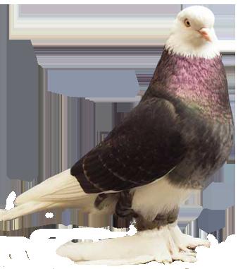 Pin On Pigeons