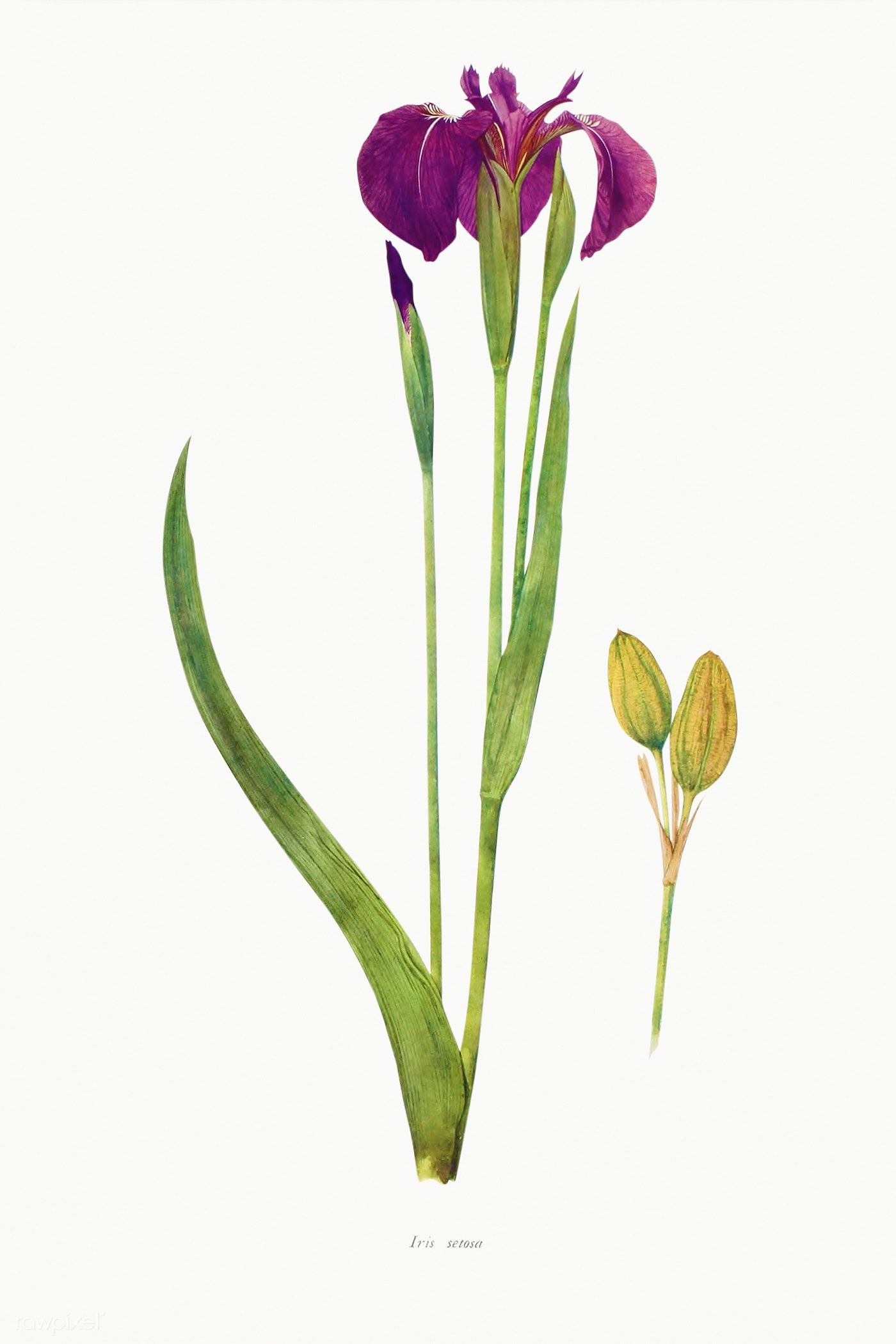 Download Premium Illustration Of Vintage Iris Flower Illustration Template In 2020 Flower Illustration Iris Flowers Seed Illustration
