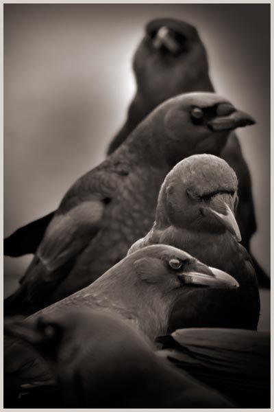Corvid | Crow | Raven | La Corneille | Il Corvo | 烏 | El Cuervo | ворона | 乌鸦 | The Adjudicators (Photography by Larry Blackwood, from his 'Opus Corvus' series)