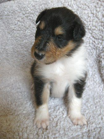 Pin On Tri Color Collies Are Absolutely Beatiful