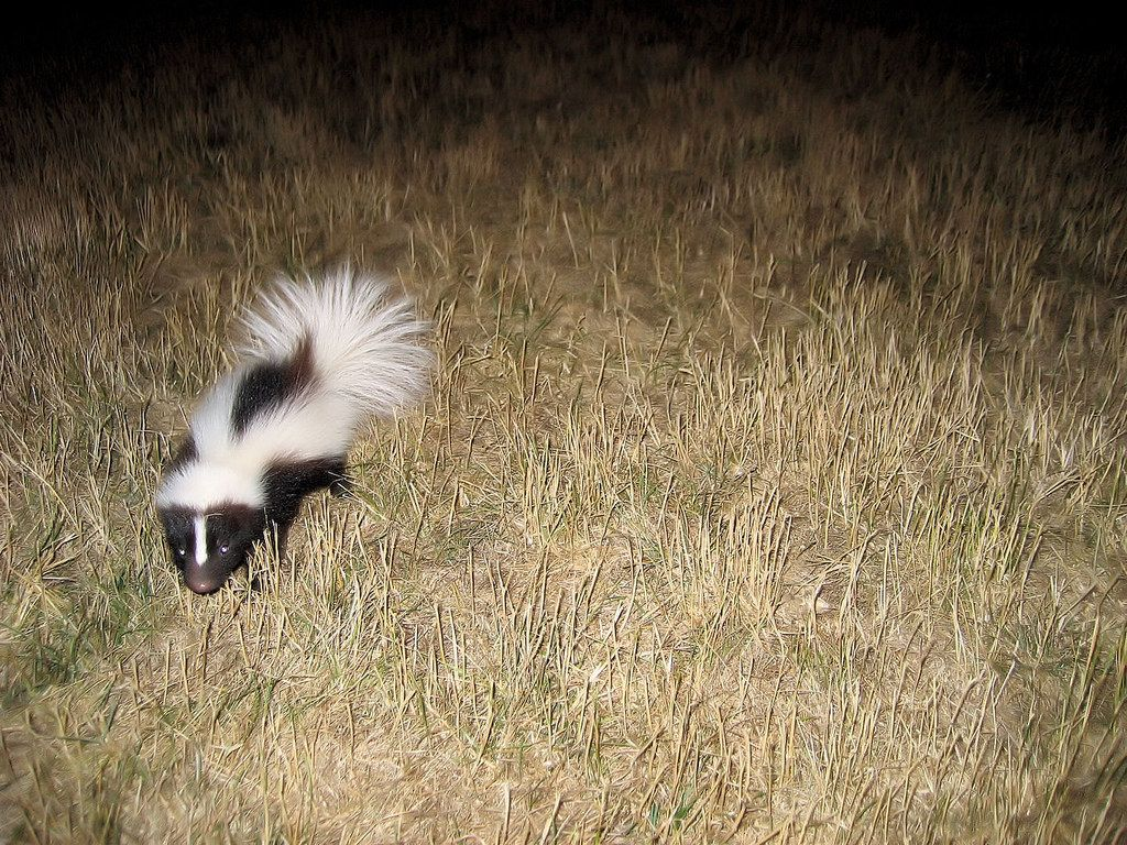 16 baby skunks who are freaking adorable baby skunks and animal