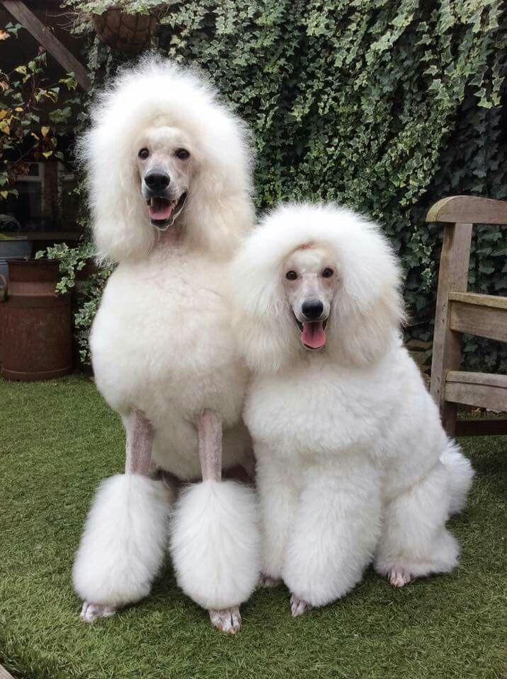 Jazz En Jill Dog Breeds Poodle