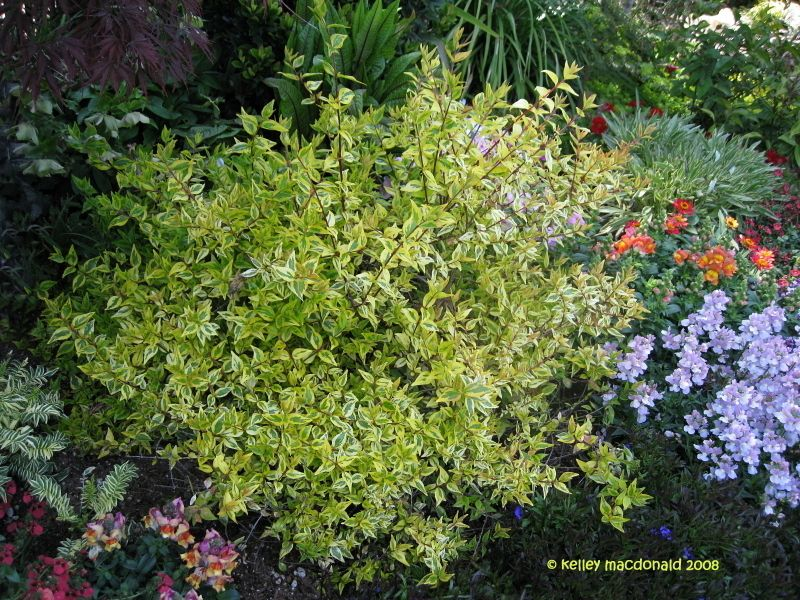 Full Size Picture Of Glossy Abelia Kaleidoscope Abelia X