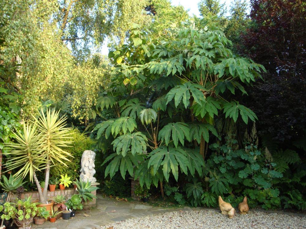 Rice Paper Plant Plants Architectural Plants Jungle Gardens