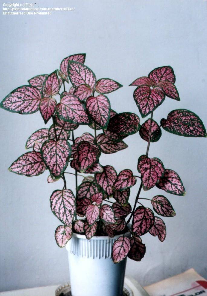 Polka Dot Plant, Freckle Face, Hypoestes phyllostachya