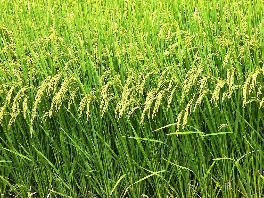 California rice fields Fields