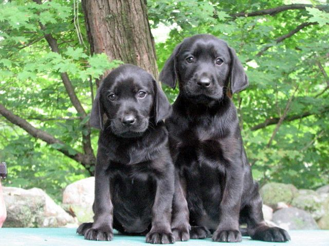 Four Oak Labs Puppies Labrador Breeders Lab Puppy Black Dog