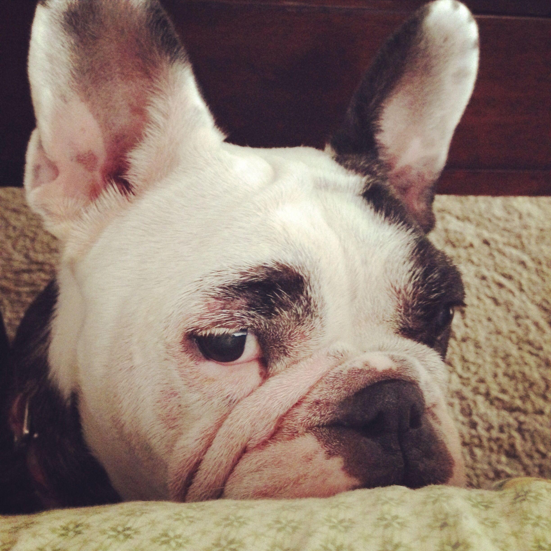 Freelance Bulldog Princess Delilah Bulldog French Bulldog Mix