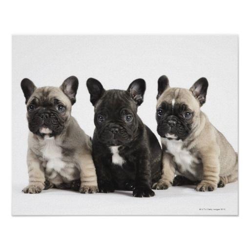 Threee Pedigree Puppies Poster Zazzle Com French Bulldog