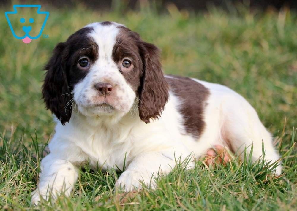 Candy English Springer Spaniel Puppy For Sale Keystone Puppies Spaniel Puppies For Sale Springer Spaniel Puppies English Springer Spaniel Puppy