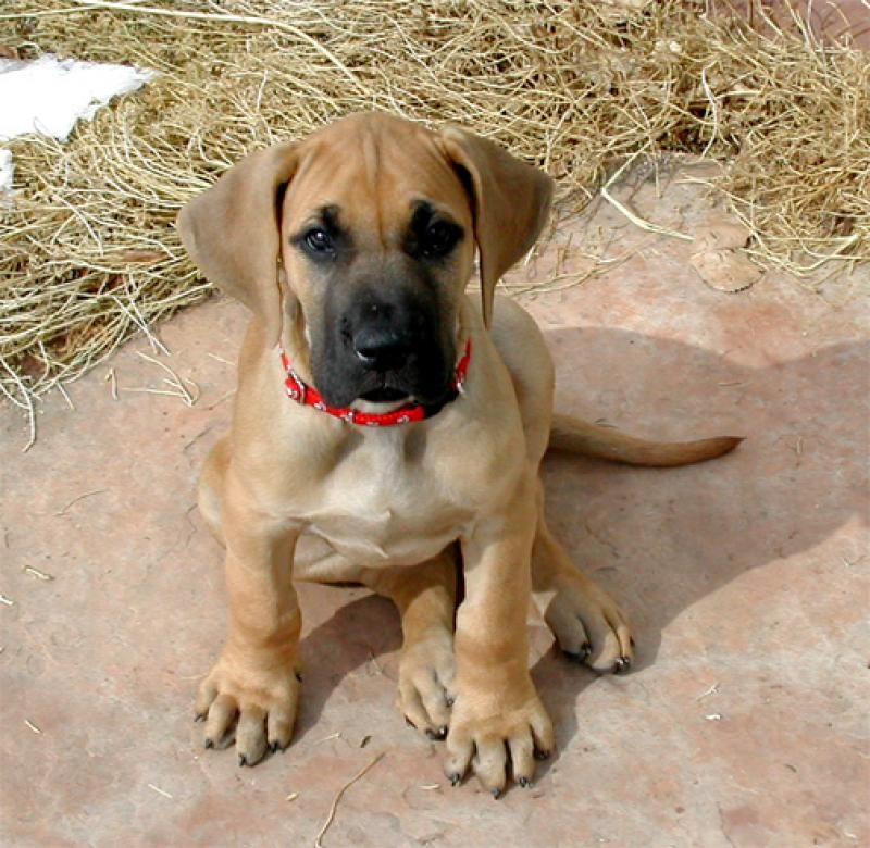 Fawn Great Danes Ohio Great Dane Price In India Great Dane Puppy