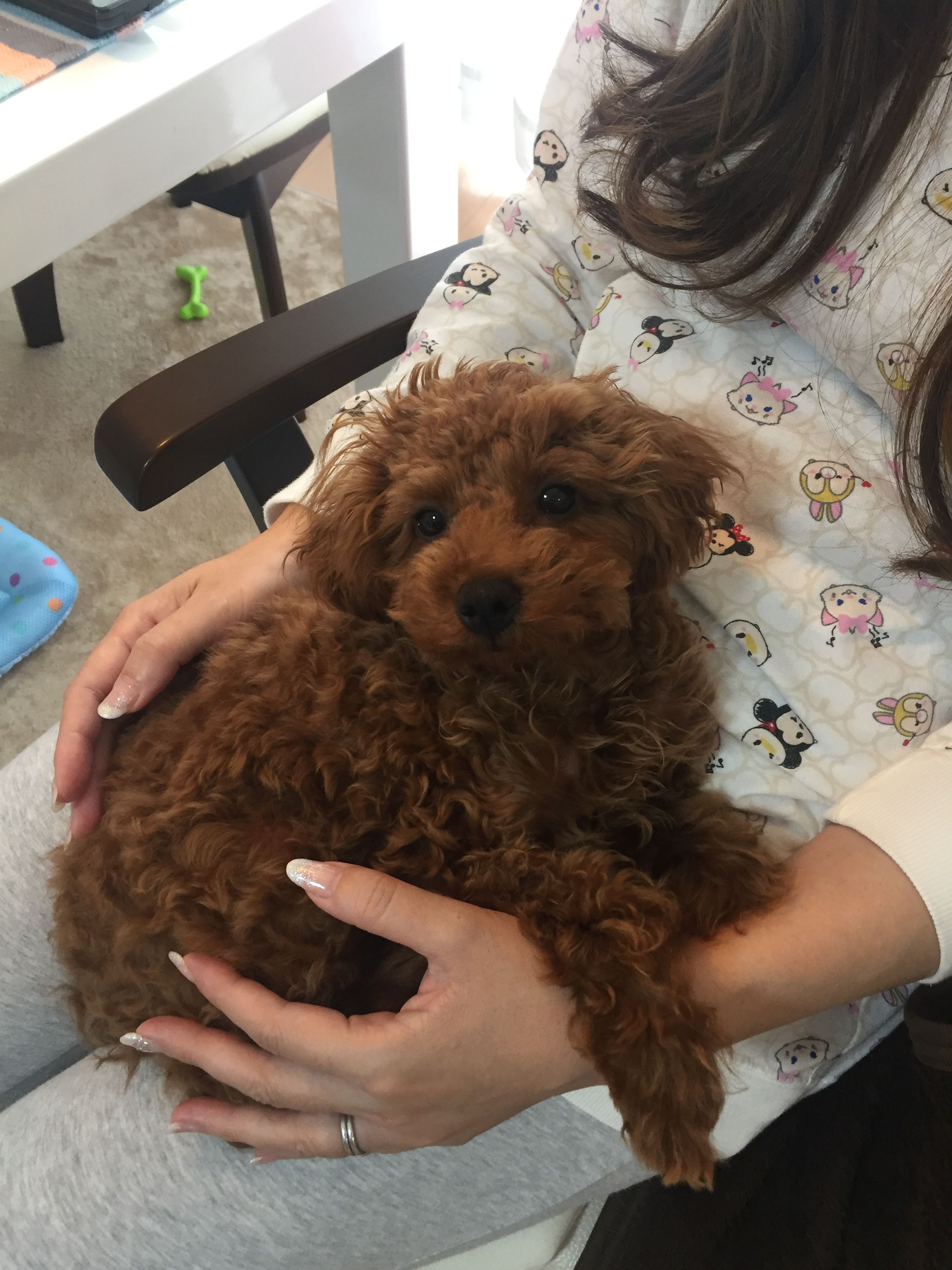Pin On Puppies Poodle