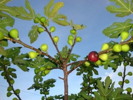 Hopkins Nursery In Ft Lauderdale Florida Rare Fruit Nut Trees