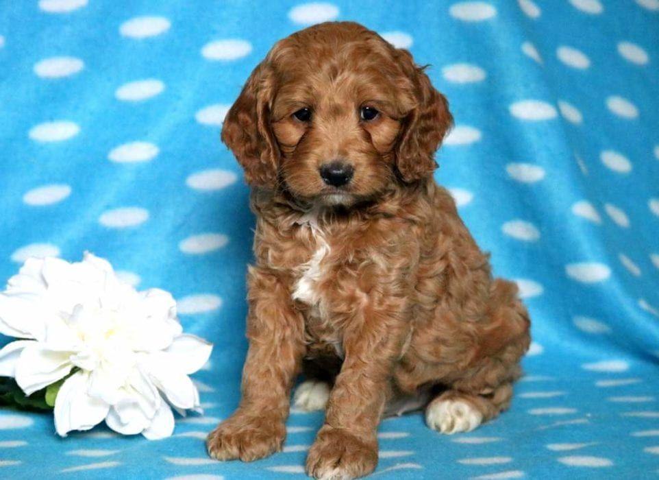 Georgie Cockapoo Puppy For Sale Keystone Puppies Cockapoo Puppies For Sale Cockapoo Puppies Puppies