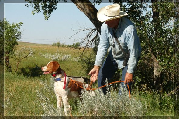 Tequila Kennels Brittany Field Trial Training And Handling By Ed