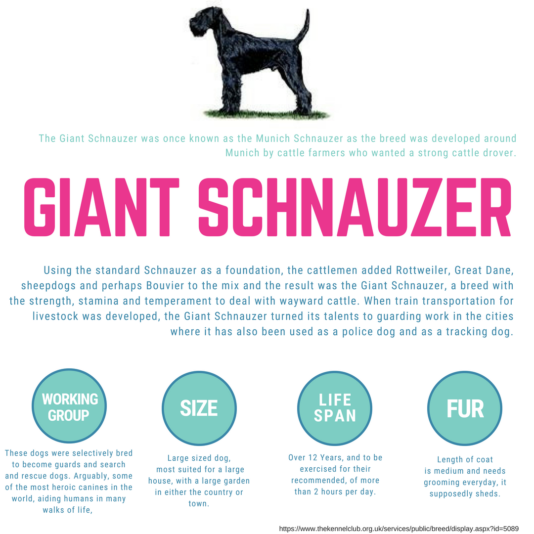 The Giantschnauzer Was Created To Be A Working Dog Breed So He