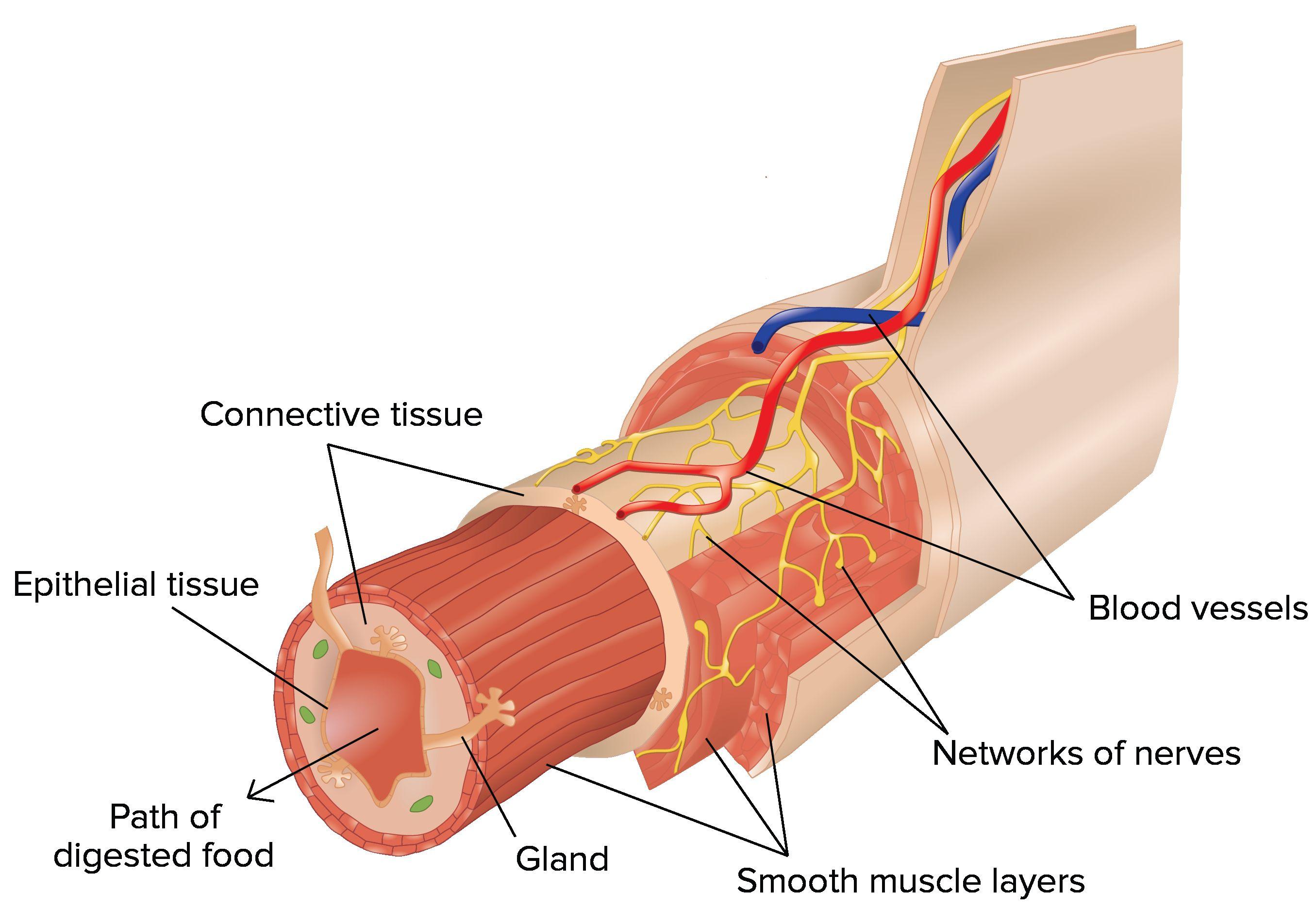 Human Body Organ System Diagram Human Anatomy Pictures Pinterest