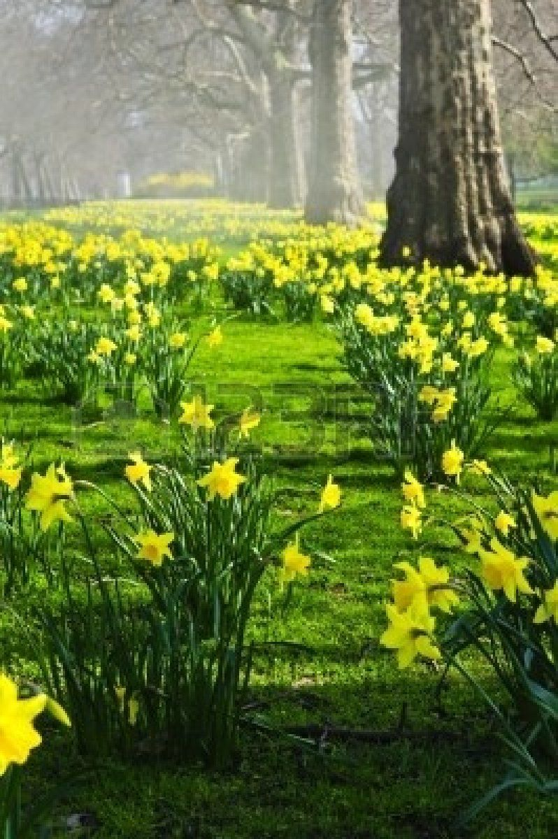 Blooming daffodils in St James's Park in London Stock Photo - 5680430