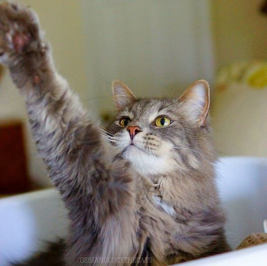 Raise A Paw For Caturdays Catlife Photo Credit Desiandlucythecats Kitten Accessories Animal Antics Cats