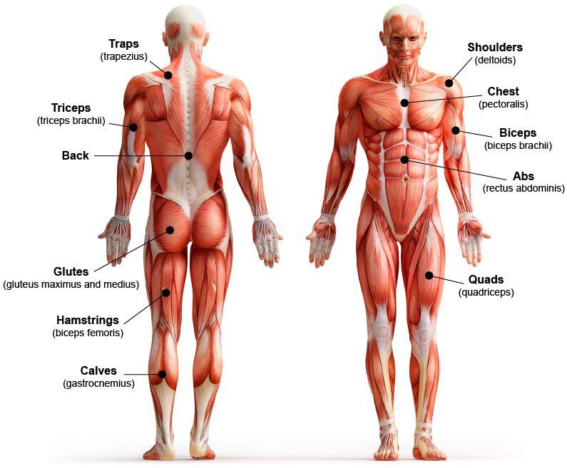 Chart Of Muscle Peopledavidjoel