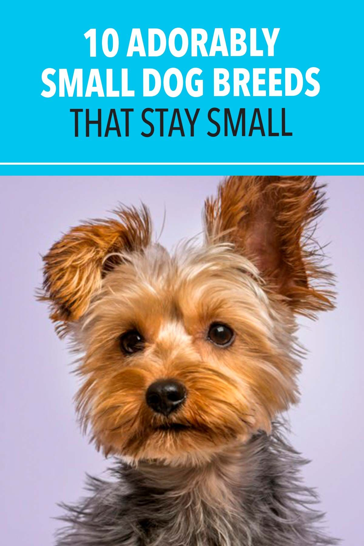 10 Adorably Small Dog Breeds That Stay Small In 2020 Small Dog Breeds Dog Breeds Small Dogs