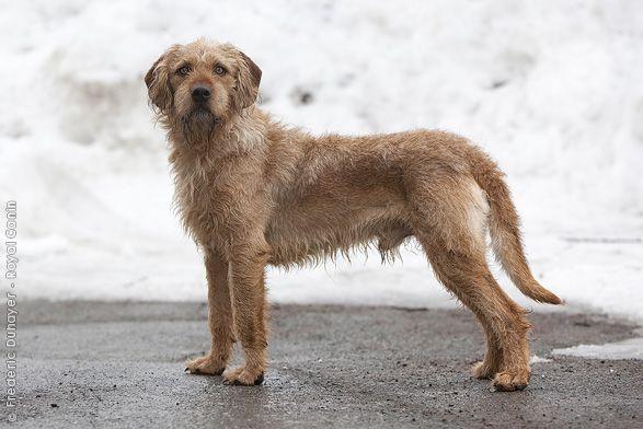 Istrian Coarse Haired Hound Dog Photo Hound Dog Hound Breeds Dog Breeds
