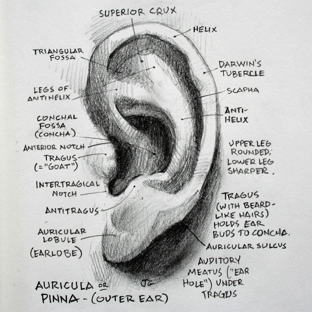 Piercing names in mouth  Stuff I wish I learned in art school drawing anatomy ear pencil