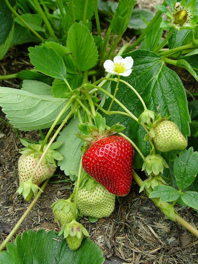 Tips For Successfully Growing Strawberries Strawberry Plants Everbearing Strawberries Strawberry Garden