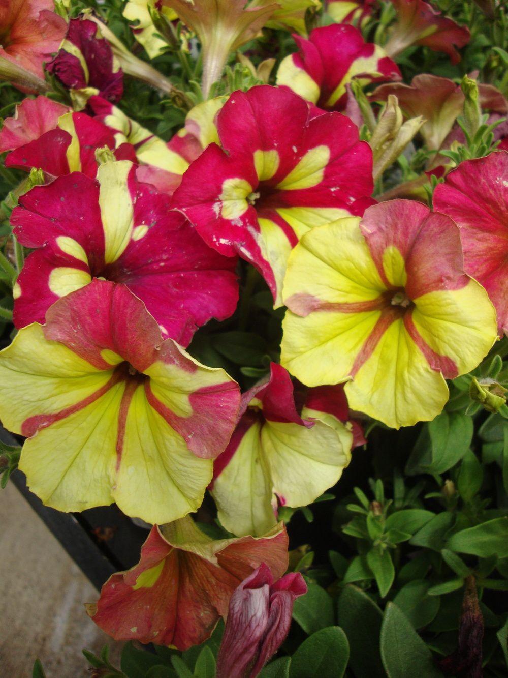 Petunia crazytunia sparky google search fleurs for Jardin secreto wine