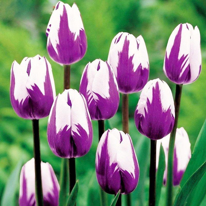 100 unids caliente planta perenne bonsai tulipán semillas de