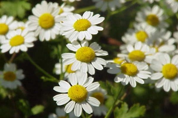 Feverfew Seeds Tanacetum Parthenium Feverfew Is Believed To Aid Digestion And Lower Blood Pressure A Recent Study Indic Medicinal Herbs Garden Feverfew Plants