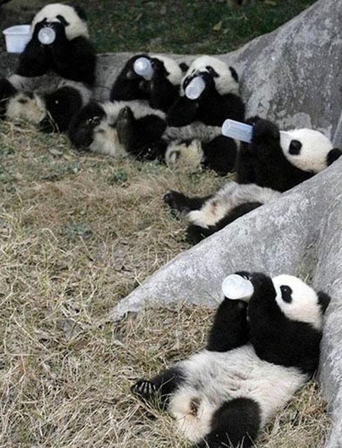 Five baby pandas drinking milk out of giant bottles