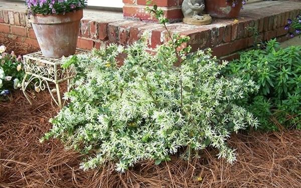 Loropetalum chinensis 'Shang White' Emerald Snow   - sun/ps, avg drained soil, blooms spring and on/off all yr; new growth is intense lime green, typically 3-4'x3-4' takes to pruning very well. prefers ACID soil. 3gall=$8-15