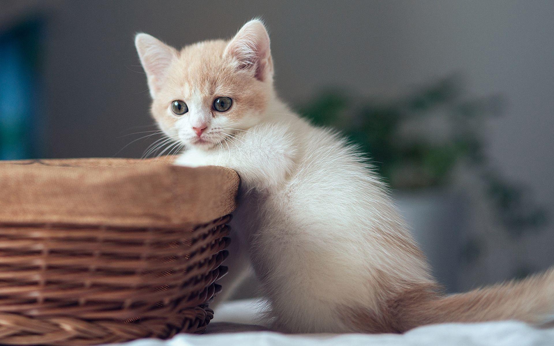 バスケットが付いているかわいい子猫 壁紙 1920x1200 子猫