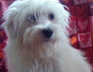 Adopt Rikki On Petfinder Coton De Tulear Dogs Coton De Tulear Dogs And Puppies