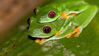 Tree Frog - Bing Images