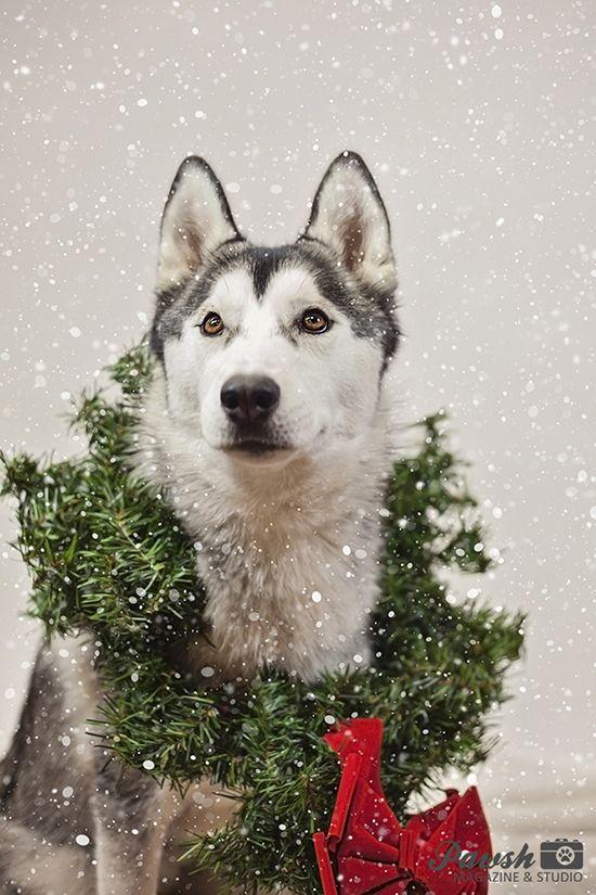 2015 Toronto Holiday Pet Mini Sessions Christmas Dog Photography Pet Holiday Dog Christmas Photos