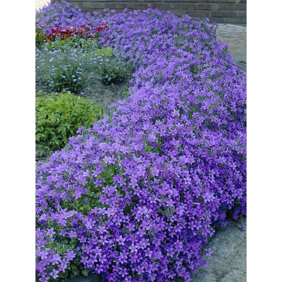 Dalmatiner Polster Glockenblume Blau Violett Topf O Ca 11 Cm