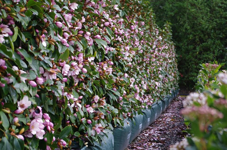 Nz Bred Fairy Magnolia 174 Blush Doltsopa X Yunnanensis X