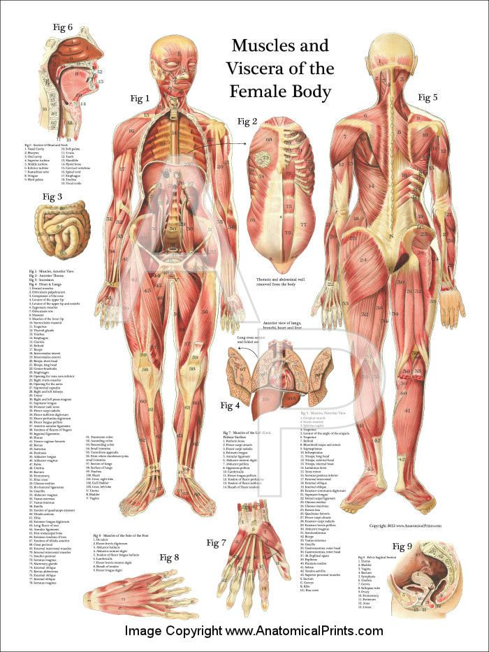 Muscles And Viscera Of The Female Anatomy Poster 18 X 24 Anatomy