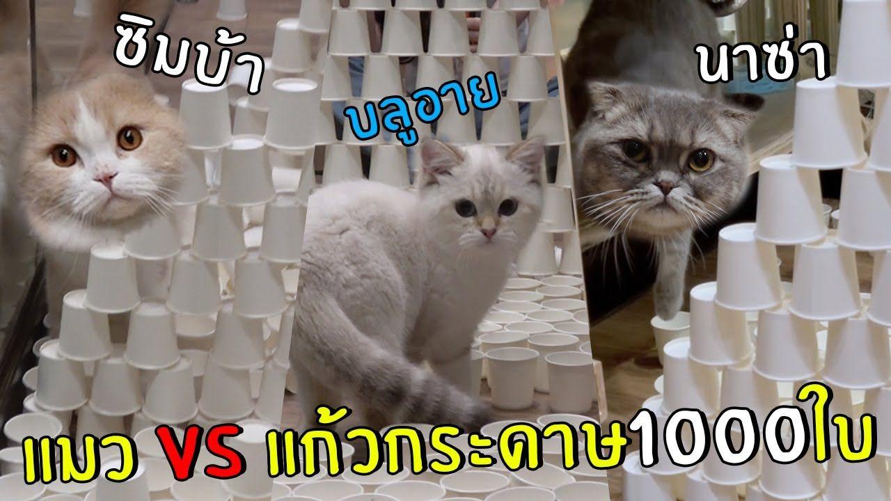 ป กพ นโดย ก ญญมน ส วรรณช ย ใน Cat แมวน อย แมว ส ตว เล ยง