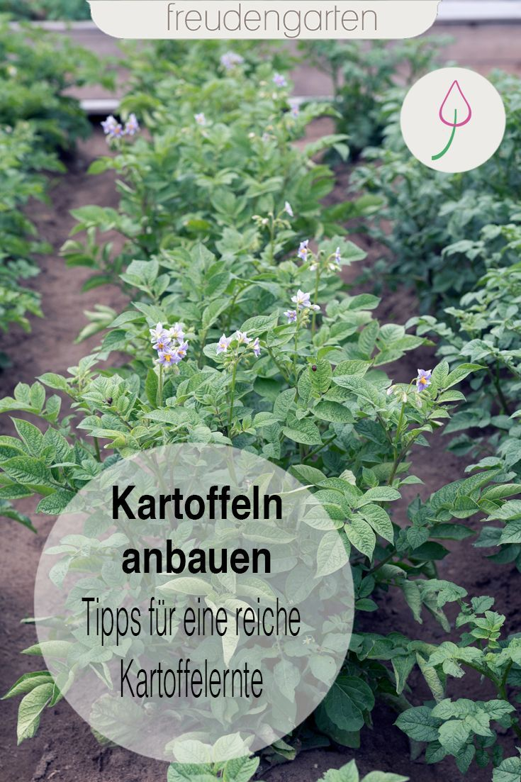 Kartoffeln vorkeimen, setzen, pflanzen, pflegen